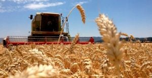 trigo cosecha