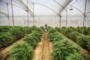 cannabis produccion