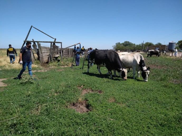 vacas campo allanamiento